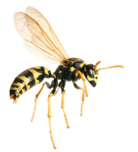Pest Control - Wasps